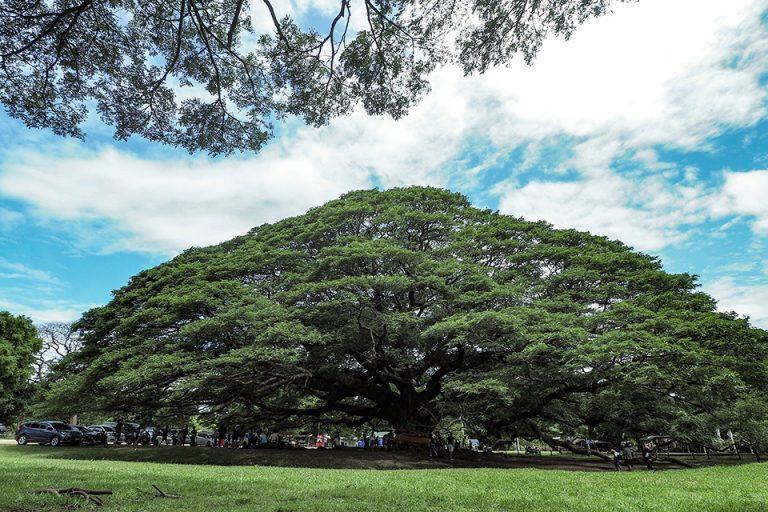 giant-raintree-100-years-old-01